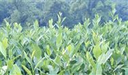 浙江发布《碾茶机械化加工技术规程》等两个团体标准